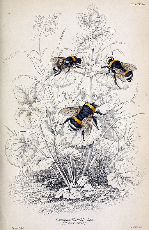An 1840 naturalist's colour illustration of three black-and-yellow bees on a black-and-white line drawing of a flower.